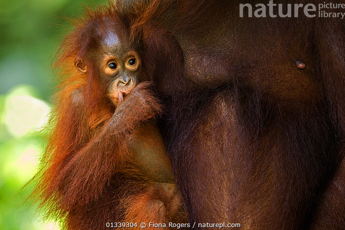 Bornean Orang-utan (Pongo pygmaeus wurmbii) female baby 'Petra' aged 12 months holding on to her mother 'Peta'. Camp Leakey, Tanjung Puting National Park, Central Kalimantan, Borneo, Indonesia, June 2010. Rehabilitated and released between 1971 and 1995, or descended from such ancestors.  ,  ASIA,BABIES,CUTE,ENDANGERED,GREAT APES,INDONESIA,MAMMALS,MOTHER BABY,NP,ORANGUTAN,PRIMATES,RESERVE,SOUTH EAST ASIA,TROPICAL RAINFOREST,National Park  ,  Fiona Rogers