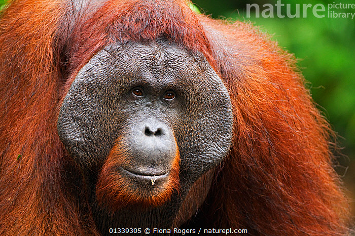 Bornean Orang-utan (Pongo pygmaeus wurmbii) mature male 'Doyok' portrait. Pondok Tanggui, Tanjung Puting National Park, Central Kalimantan, Borneo, Indonesia, June 2010. Rehabilitated and released between 1971 and 1995, or descended from such ancestors.  ,  ASIA,ENDANGERED,FACES,FULL FRAME,GREAT APES,HEADS,INDONESIA,MALES,MAMMALS,NP,ORANGUTAN,PORTRAITS,PRIMATES,RESERVE,SOUTH EAST ASIA,TROPICAL RAINFOREST,National Park  ,  Fiona Rogers