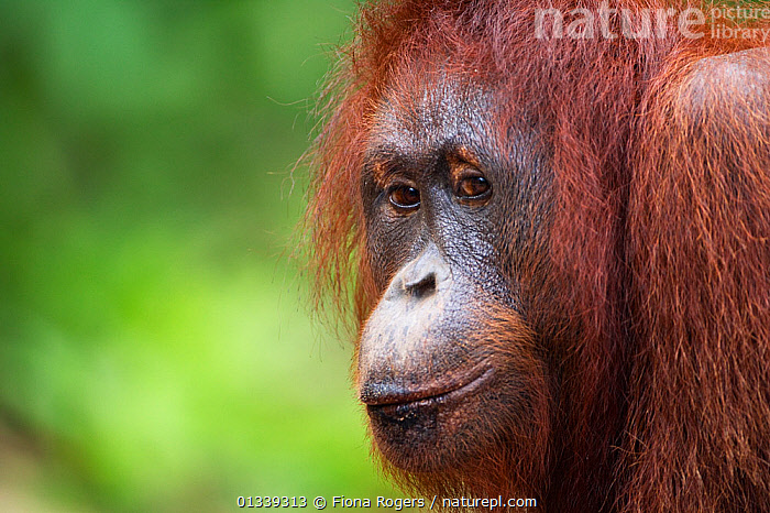 Bornean Orang-utan (Pongo pygmaeus wurmbii) female 'Linda' portrait. Pondok Tanggui, Tanjung Puting National Park, Central Kalimantan, Borneo, Indonesia, June 2010. Rehabilitated and released between 1971 and 1995, or descended from such ancestors.  ,  ASIA,ENDANGERED,EXPRESSIONS,FACES,GREAT APES,INDONESIA,LOOKING AT CAMERA,MAMMALS,NP,ORANGUTAN,PORTRAITS,PRIMATES,RESERVE,SOUTH EAST ASIA,TROPICAL RAINFOREST,National Park  ,  Fiona Rogers
