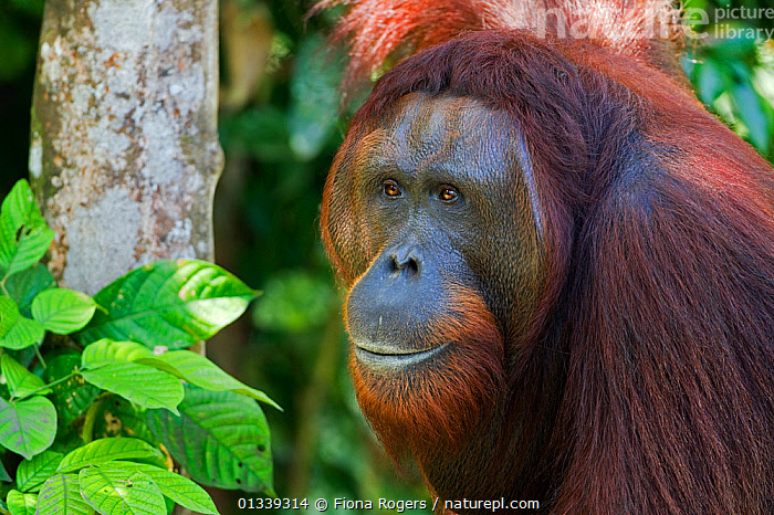 Bornean Orang-utan (Pongo pygmaeus wurmbii) mature male 'Panarogo' head and shoulders portrait. Camp Leakey, Tanjung Puting National Park, Central Kalimantan, Borneo, Indonesia, June 2010. Rehabilitated and released between 1971 and 1995, or descended from such ancestors.  ,  ASIA,ENDANGERED,FACES,GREAT APES,HEADS,INDONESIA,MALES,MAMMALS,NP,ORANGUTAN,PORTRAITS,PRIMATES,RESERVE,SOUTH EAST ASIA,TROPICAL RAINFOREST,National Park  ,  Fiona Rogers