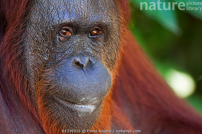 Bornean Orang-utan (Pongo pygmaeus wurmbii) female 'Siswi' portrait. Camp Leakey, Tanjung Puting National Park, Central Kalimantan, Borneo, Indonesia, June 2010. Rehabilitated and released between 1971 and 1995, or descended from such ancestors.  ,  ASIA,ENDANGERED,FACES,FEMALES,FULL FRAME,GREAT APES,HEADS,INDONESIA,LOOKING AT CAMERA,MAMMALS,NP,ORANGUTAN,PORTRAITS,PRIMATES,RESERVE,SOUTH EAST ASIA,TROPICAL RAINFOREST,National Park  ,  Fiona Rogers