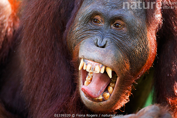 Bornean Orang-utan (Pongo pygmaeus wurmbii) sub-adult male 'Pan' yawning - head portrait. Camp Leakey, Tanjung Puting National Park, Central Kalimantan, Borneo, Indonesia, June 2010. Rehabilitated and released between 1971 and 1995, or descended from such ancestors.  ,  ASIA,ENDANGERED,EXPRESSIONS,FACES,FULL FRAME,GREAT APES,HEADS,INDONESIA,MAMMALS,NP,ORANGUTAN,PRIMATES,RESERVE,SOUTH EAST ASIA,TONGUES,TROPICAL RAINFOREST,YAWN,National Park  ,  Fiona Rogers