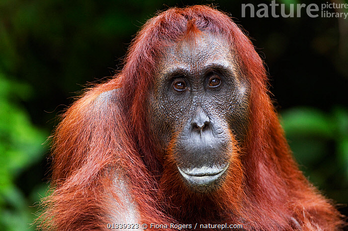Bornean Orang-utan (Pongo pygmaeus wurmbii) female 'Akmad' head and shoulders portrait. Camp Leakey, Tanjung Puting National Park, Central Kalimantan, Borneo, Indonesia, June 2010. Rehabilitated and released between 1971 and 1995, or descended from such ancestors.  ,  ASIA,ENDANGERED,EXPRESSIONS,FACES,FEMALES,GREAT APES,HEADS,INDONESIA,LOOKING AT CAMERA,MAMMALS,NP,ORANGUTAN,PORTRAITS,PRIMATES,RESERVE,SOUTH EAST ASIA,TROPICAL RAINFOREST,National Park  ,  Fiona Rogers