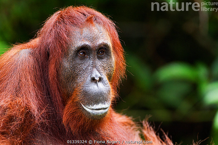 Bornean Orang-utan (Pongo pygmaeus wurmbii) female 'Akmad' head and shoulders portrait. Camp Leakey, Tanjung Puting National Park, Central Kalimantan, Borneo, Indonesia, June 2010. Rehabilitated and released between 1971 and 1995, or descended from such ancestors.  ,  ASIA,ENDANGERED,EXPRESSIONS,FACES,FEMALES,GREAT APES,HEADS,INDONESIA,MAMMALS,NP,ORANGUTAN,PORTRAITS,PRIMATES,RESERVE,SOUTH EAST ASIA,TROPICAL RAINFOREST,National Park  ,  Fiona Rogers