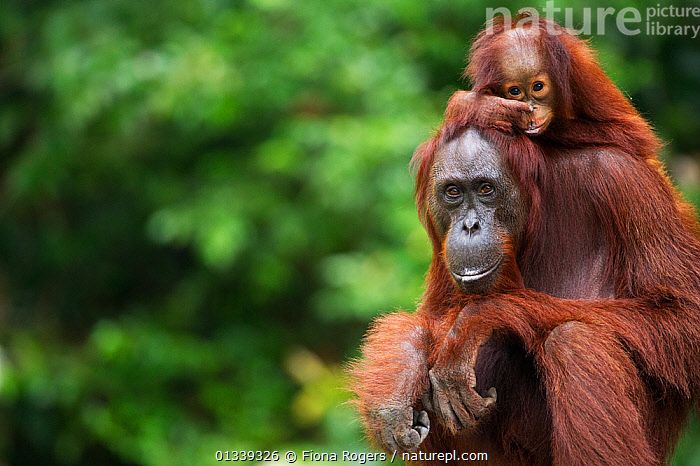 Bornean Orang-utan (Pongo pygmaeus wurmbii) female 'Gara' sitting with her daughter 'Gita' aged 2 years. Camp Leakey, Tanjung Puting National Park, Central Kalimantan, Borneo, Indonesia, June 2010. Rehabilitated and released between 1971 and 1995, or descended from such ancestors.  ,  ASIA,BABIES,COPY SPACE,COPYSPACE,CUTE,ENDANGERED,GREAT APES,INDONESIA,LOOKING AT CAMERA,MAMMALS,MOTHER BABY,NP,ORANGUTAN,PARENTAL,PORTRAITS,PRIMATES,RESERVE,SOUTH EAST ASIA,TROPICAL RAINFOREST,TWO,National Park  ,  Fiona Rogers