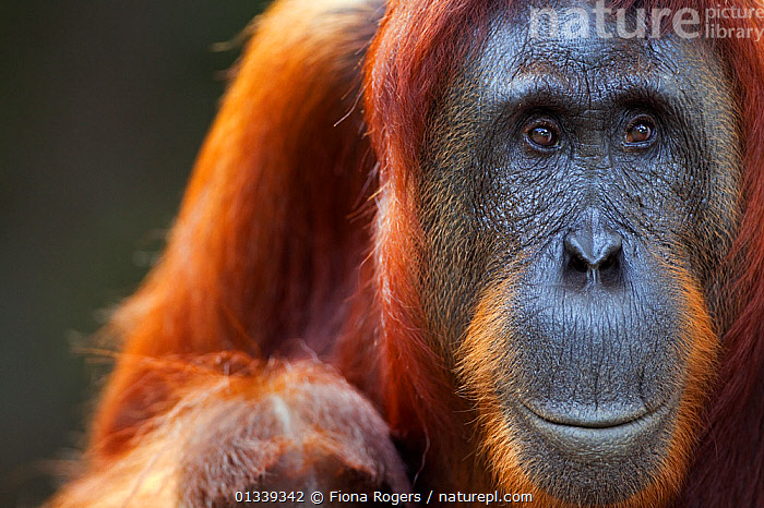 Bornean Orang-utan (Pongo pygmaeus wurmbii) female 'Tutut' head portrait. Camp Leakey, Tanjung Puting National Park, Central Kalimantan, Borneo, Indonesia, July 2010. Rehabilitated and released between 1971 and 1995, or descended from such ancestors.  ,  ASIA,COPY SPACE,COPYSPACE,ENDANGERED,FACES,GREAT APES,HEADS,INDONESIA,LOOKING AT CAMERA,MAMMALS,NP,ORANGUTAN,PORTRAITS,PRIMATES,RESERVE,SOUTH EAST ASIA,TROPICAL RAINFOREST,National Park  ,  Fiona Rogers