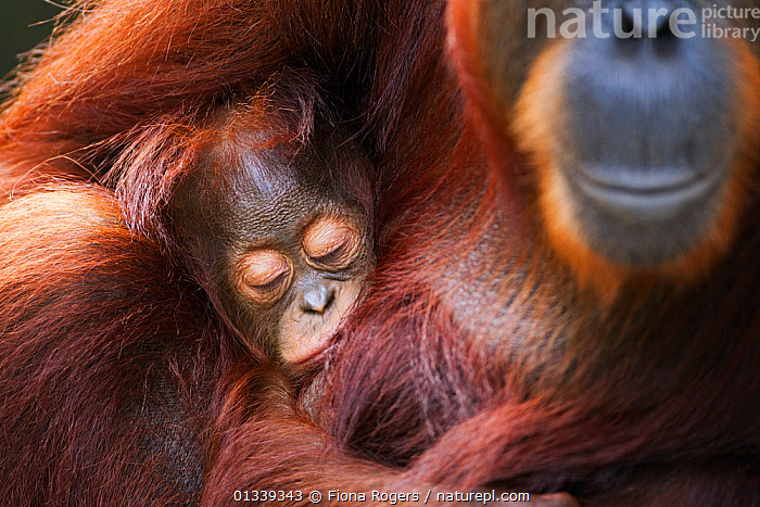 Bornean Orang-utan (Pongo pygmaeus wurmbii) female 'Tutut' cradling her sleeping baby 'Thor' aged 8-9 months head portrait. Camp Leakey, Tanjung Puting National Park, Central Kalimantan, Borneo, Indonesia, July 2010. Rehabilitated and released between 1971 and 1995, or descended from such ancestors.  ,  BABIES,BROWN,catalogue4,close,eyes closed,female animal,full frame,GREAT APES,MAMMALS,Parenting,PRIMATES,protection,two,two animals,WILDLIFE,affection,ASIA,BEHAVIOUR,borneo,Camp Leakey,care,close up,contentment,CUTE,ENDANGERED,FUR,INDONESIA,KALIMANTAN,MOTHER BABY,motherhood,Nobody,NP,ORANGUTAN,PARENTAL,PEACEFUL,RESERVE,safe,SLEEPING,SMILING,SOUTH EAST ASIA,TROPICAL RAINFOREST,National Park  ,  Fiona Rogers