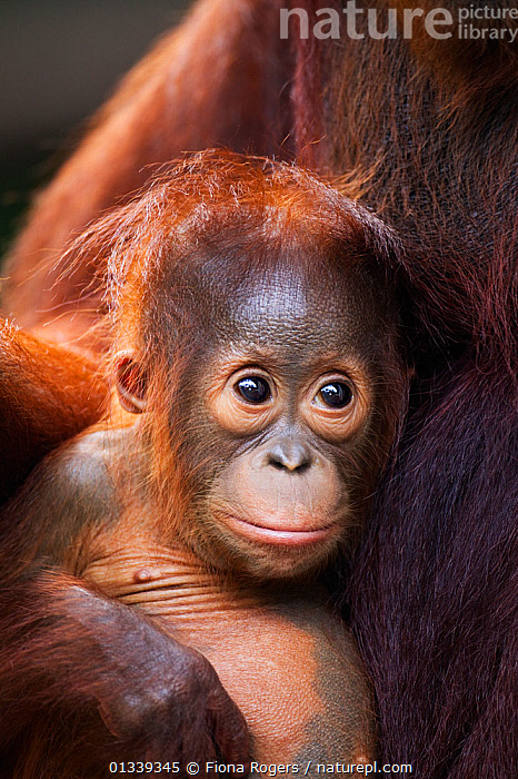 Bornean Orang-utan (Pongo pygmaeus wurmbii) male baby 'Thor' aged 8-9 months sitting with his mother 'Tutut' - portrait. Camp Leakey, Tanjung Puting National Park, Central Kalimantan, Borneo, Indonesia, July 2010. Rehabilitated and released between 1971 and 1995, or descended from such ancestors.  ,  ASIA,BABIES,CUTE,ENDANGERED,FACES,GREAT APES,HEADS,INDONESIA,MAMMALS,NP,ORANGUTAN,PORTRAITS,PRIMATES,RESERVE,SOUTH EAST ASIA,TROPICAL RAINFOREST,VERTICAL,National Park  ,  Fiona Rogers