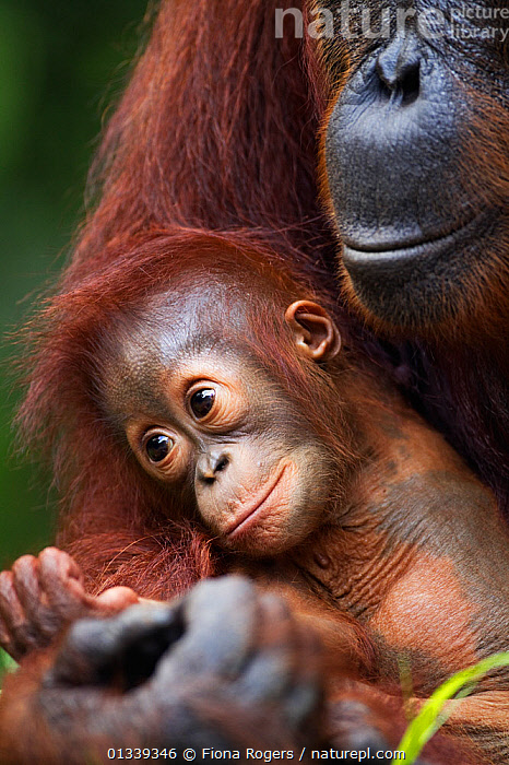 Bornean Orang-utan (Pongo pygmaeus wurmbii) female 'Tutut' cradling her baby 'Thor' aged 8-9 months head portrait. Camp Leakey, Tanjung Puting National Park, Central Kalimantan, Borneo, Indonesia, July 2010. Rehabilitated and released between 1971 and 1995, or descended from such ancestors.  ,  ASIA,BABIES,CUTE,ENDANGERED,GREAT APES,INDONESIA,MAMMALS,MOTHER BABY,NP,ORANGUTAN,PARENTAL,PRIMATES,RESERVE,SOUTH EAST ASIA,TROPICAL RAINFOREST,TWO,VERTICAL,National Park  ,  Fiona Rogers