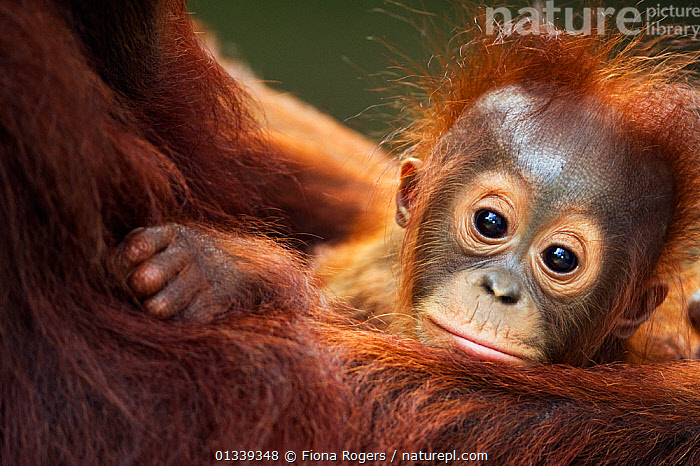Bornean Orang-utan (Pongo pygmaeus wurmbii) male baby 'Thor' aged 8-9 months being cradled by his mother 'Tutut' - portrait. Camp Leakey, Tanjung Puting National Park, Central Kalimantan, Borneo, Indonesia, July 2010. Rehabilitated and released between 1971 and 1995, or descended from such ancestors.  ,  ASIA,BABIES,CUTE,ENDANGERED,FACES,GREAT APES,HEADS,INDONESIA,LOOKING AT CAMERA,MAMMALS,NP,ORANGUTAN,PORTRAITS,PRIMATES,RESERVE,SOUTH EAST ASIA,TROPICAL RAINFOREST,National Park  ,  Fiona Rogers
