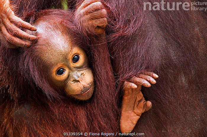 Bornean Orang-utan (Pongo pygmaeus wurmbii) female baby 'Gita' aged 2 years portrait. Camp Leakey, Tanjung Puting National Park, Central Kalimantan, Borneo, Indonesia, July 2010. Rehabilitated and released between 1971 and 1995, or descended from such ancestors.  ,  ASIA,BABIES,CUTE,ENDANGERED,FACES,GREAT APES,HEADS,INDONESIA,MAMMALS,NP,ORANGUTAN,PORTRAITS,PRIMATES,RESERVE,SOUTH EAST ASIA,TROPICAL RAINFOREST,National Park  ,  Fiona Rogers