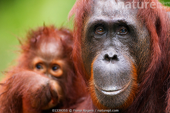 Bornean Orang-utan (Pongo pygmaeus wurmbii) female 'Princess' portrait with daughter 'Putri' aged 2 years in the background. Camp Leakey, Tanjung Puting National Park, Central Kalimantan, Borneo, Indonesia, July 2010. Rehabilitated and released between 1971 and 1995, or descended from such ancestors.  ,  ASIA,BABIES,CUTE,ENDANGERED,FACES,GREAT APES,HEADS,INDONESIA,MAMMALS,MOTHER BABY,NP,ORANGUTAN,PARENTAL,PORTRAITS,PRIMATES,RESERVE,SOUTH EAST ASIA,TROPICAL RAINFOREST,TWO,National Park  ,  Fiona Rogers