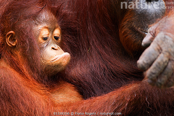Bornean Orang-utan (Pongo pygmaeus wurmbii) female baby 'Putri' aged 2 years sitting with her mother 'Princess'. Camp Leakey, Tanjung Puting National Park, Central Kalimantan, Borneo, Indonesia, July 2010. Rehabilitated and released between 1971 and 1995, or descended from such ancestors.  ,  ASIA,BABIES,CUTE,ENDANGERED,EXPRESSIONS,FACES,GREAT APES,HEADS,HUMOROUS,INDONESIA,MAMMALS,MOTHER BABY,NP,ORANGUTAN,PARENTAL,PORTRAITS,PRIMATES,RESERVE,SOUTH EAST ASIA,TROPICAL RAINFOREST,TWO,Concepts,National Park  ,  Fiona Rogers