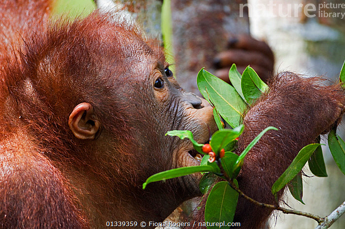 Bornean Orang-utan (Pongo pygmaeus wurmbii) male adolescent 'Percy' aged 8 years feeding on berries. Camp Leakey, Tanjung Puting National Park, Central Kalimantan, Borneo, Indonesia, June 2010. Rehabilitated and released between 1971 and 1995, or descended from such ancestors.  ,  ASIA,BEHAVIOUR,ENDANGERED,FEEDING,FULL FRAME,GREAT APES,INDONESIA,MALES,MAMMALS,NP,ORANGUTAN,PRIMATES,RESERVE,SOUTH EAST ASIA,TROPICAL RAINFOREST,National Park  ,  Fiona Rogers