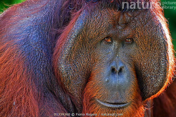 Bornean Orang-utan (Pongo pygmaeus wurmbii) mature male 'Tom' head and shoulders portrait. Camp Leakey, Tanjung Puting National Park, Central Kalimantan, Borneo, Indonesia, June 2010. Rehabilitated and released between 1971 and 1995, or descended from such ancestors.  ,  catalogue4,EXPRESSIONS,FACES,facial expression,friendly,full frame,GREAT APES,looking at camera,MAMMALS,one animal,PORTRAITS,PRIMATES,Tanjung Puting ,WILDLIFE,animal portrait,ASIA,borneo,Camp Leakey,close up,ENDANGERED,HEADS,INDONESIA,KALIMANTAN,male animal,MALES,Nobody,NP,ORANGUTAN,RESERVE,SMILING,SOUTH EAST ASIA,sunlight,TROPICAL RAINFOREST,National Park  ,  Fiona Rogers