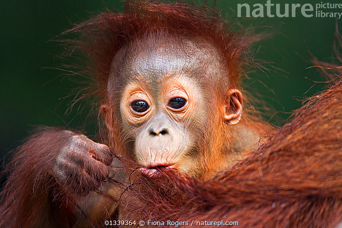 Bornean Orang-utan (Pongo pygmaeus wurmbii) male baby 'Thor' aged 8-9 months playing with his mother's hair - portrait. Camp Leakey, Tanjung Puting National Park, Central Kalimantan, Borneo, Indonesia, July 2010. Rehabilitated and released between 1971 and 1995, or descended from such ancestors.  ,  ASIA,BABIES,CUTE,ENDANGERED,EXPRESSIONS,FACES,GREAT APES,HEADS,HUMOROUS,INDONESIA,LOOKING AT CAMERA,MAMMALS,NP,ORANGUTAN,PORTRAITS,PRIMATES,RESERVE,SOUTH EAST ASIA,TROPICAL RAINFOREST,Concepts,National Park  ,  Fiona Rogers