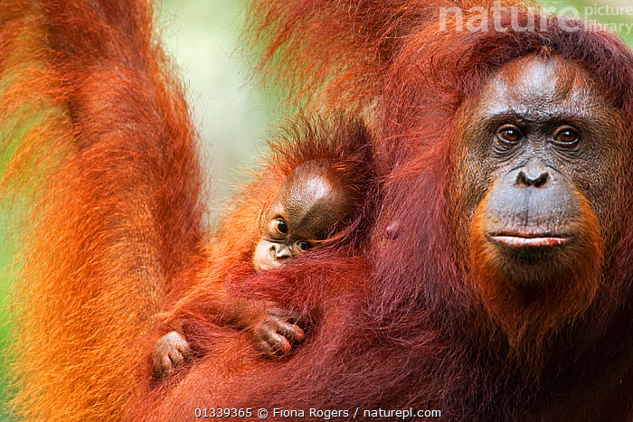 Bornean Orang-utan (Pongo pygmaeus wurmbii) female 'Tata' and her unnamed baby aged 2-3 months portrait. Camp Leakey, Tanjung Puting National Park, Central Kalimantan, Borneo, Indonesia, June 2010. Rehabilitated and released between 1971 and 1995, or descended from such ancestors.  ,  animal family,BABIES,catalogue4,EXPRESSIONS,FACES,female animal,GREAT APES,looking at camera,MAMMALS,Parenting,PORTRAITS,PRIMATES,protection,Tanjung Puting ,two,two animals,WILDLIFE,affection,animal portrait,ASIA,borneo,Camp Leakey,close up,CUTE,ENDANGERED,front view,HEADS,INDONESIA,KALIMANTAN,looking away,MOTHER BABY,motherhood,Nobody,NP,ORANGUTAN,PARENTAL,RESERVE,serious,SOUTH EAST ASIA,Togetherness,TROPICAL RAINFOREST,National Park  ,  Fiona Rogers