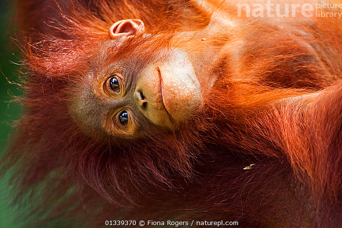Bornean Orang-utan (Pongo pygmaeus wurmbii) female baby 'Petra' aged 12 months hanging upside down from her mother. Camp Leakey, Tanjung Puting National Park, Central Kalimantan, Borneo, Indonesia, June 2010. Rehabilitated and released between 1971 and 1995, or descended from such ancestors.  ,  BABIES,BROWN,catalogue4,FACES,female animal,GREAT APES,HAIR,HUMOROUS,lying on back,MAMMALS,one animal,PORTRAITS,PRIMATES,Tanjung Puting ,WILDLIFE,wistful,young animal,ASIA,borneo,Camp Leakey,close up,CUTE,daydreaming,ENDANGERED,FEMALES,FUR,hanging,HEADS,INDONESIA,KALIMANTAN,looking away,Nobody,NP,ORANGUTAN,RESERVE,SMILING,SOUTH EAST ASIA,TROPICAL RAINFOREST,Concepts,National Park  ,  Fiona Rogers
