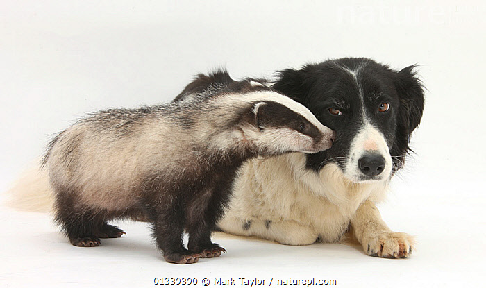 Young Badger (Meles meles) and black-and-white Border Collie. NOT AVAILABLE FOR BOOK USE  ,  AFFECTIONATE,BABIES,BADGERS,CARNIVORES,COLOUR COORDINATED,CUTE,CUTOUT,DOGS,FRIENDS,LYING,MAMMALS,MEDIUM DOGS,MIXED SPECIES,MUSTELIDS,PASTORAL DOGS,STUDIO,TWO,VERTEBRATES,WHITE  ,  Mark Taylor