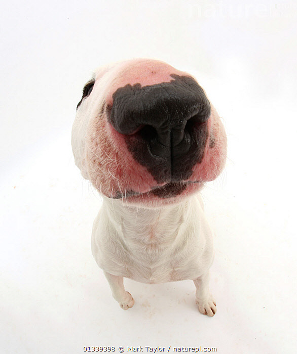 Miniature Bull Terrier dog with nose close up to camera.  ,  CUTE,CUTOUT,DOGS,HUMOROUS,NOSES,PETS,PORTRAITS,SENSES,SMALL DOGS,STUDIO,VERTEBRATES,WHITE,WIDE ANGLE SHOTS,WORKING DOGS,Concepts,Canids  ,  Mark Taylor