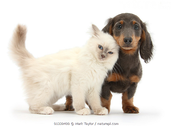 Blue-point kitten and blue-and-tan Dachshund puppy, Baloo, 15 weeks. NOT AVAILABLE FOR BOOK USE  ,  AFFECTIONATE,BABIES,CATS,CUTE,CUTOUT,DOGS,DOMESTIC CAT,FELIS CATUS,FLUFFY,FRIENDS,HOUNDS,KITTENS,MEDIUM DOGS,MIXED SPECIES,PETS,PORTRAITS,PUPPIES,STUDIO,TWO,VERTEBRATES,WHITE,Canids,,cutout,white background,  ,  Mark Taylor