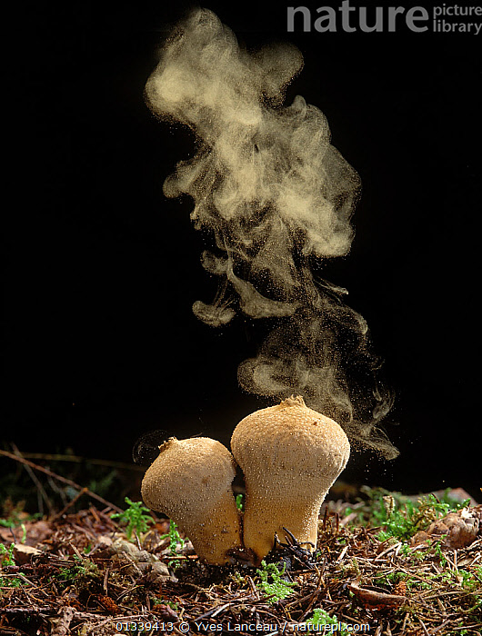 Common Puffball fungus (Lycoperdon perlatum) emitting spores into the air  ,  black background, DISPERSAL, FUNGI, FUNGUS, LYCOPERDACEAE, spores, sporulation, VERTICAL, wind-dispersal,,Dispersal,  ,  Yves Lanceau