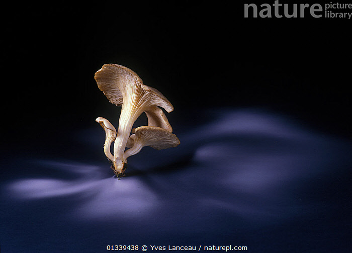 Branched oyster fungus (Pleurotus cornucopiae) edible, showing spore dispersal pattern over 14 hours on black card  ,  ARTY SHOTS,BLACK BACKGROUND,CUTOUT,FUNGI,FUNGUS,PATTERNS,PLEUROTACEAE,SPORES,SPORULATION,,Dispersal,  ,  Yves Lanceau