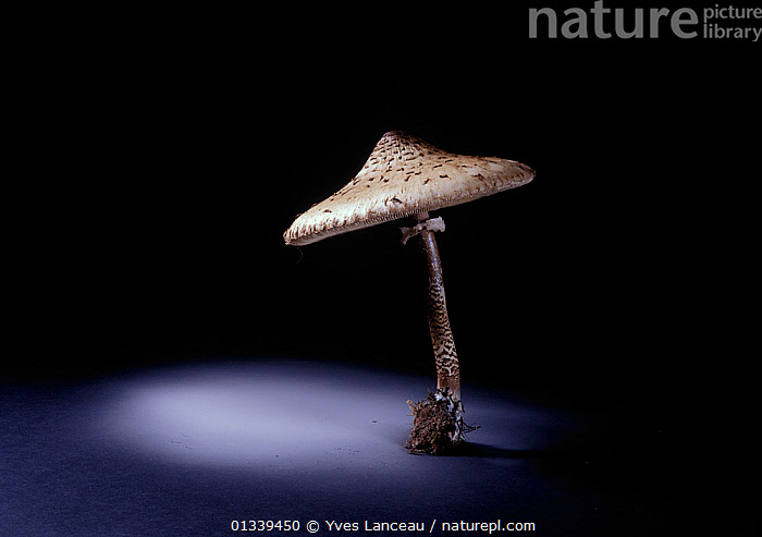 The parasol fungus (Macrolepiota procera) edible, showing spore dispersal pattern over 12 hours on black card  ,  AGARIC,AGARICACEAE,ARTY SHOTS,BLACK BACKGROUND,CUTOUT,FUNGI,FUNGUS,PATTERNS,PORTRAITS,SPORES,SPORULATION,,Dispersal,  ,  Yves Lanceau