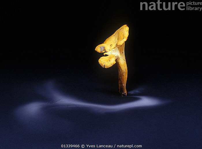 Chanterelle fungus (Cantharellus cibarius) edible, showing spore dispersal pattern over 48 hours on black card  ,  ARTY SHOTS,BLACK BACKGROUND,CANTHARELLACEAE,CUTOUT,FUNGI,FUNGUS,PATTERNS,SPORES,SPORULATION,,Dispersal,  ,  Yves Lanceau