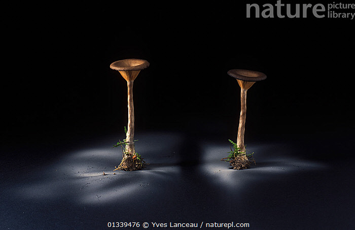 Fungus (Pseudoclitocybe cyathiformis) showing spore dispersal pattern over 24 hours on black card  ,  ARTY SHOTS,BLACK BACKGROUND,CUTOUT,FUNGI,FUNGUS,PATTERNS,PLEUROTACEAE,SPORES,SPORULATION,TWO,,Dispersal,  ,  Yves Lanceau