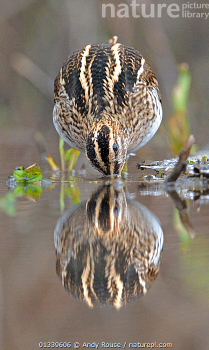 Snipe (Gallinago gallinago) drinking from a pool. Wales, UK, January.  ,  animal marking,ARTY SHOTS,BEHAVIOUR,bending forward,BIRDS,catalogue4,close up,DRINKING,EUROPE,front view,full length,nature,Nobody,one animal,plumage,pool,reflection,REFLECTIONS,SNIPE,STANDING,thirst,UK,VERTEBRATES,VERTICAL,WADERS,WALES,WATER,WILDLIFE,WINTER,United Kingdom  ,  Andy Rouse
