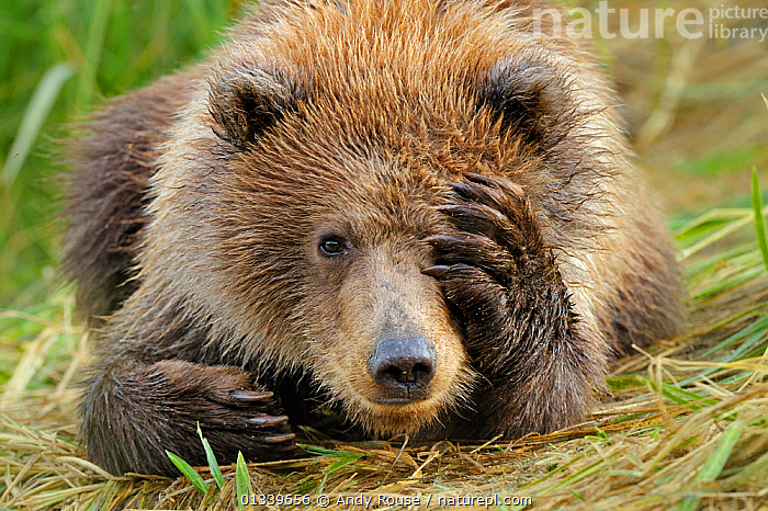 Portrait of a Grizzly Bear (Ursus arctos) cub with paw over face. Katmai, Alaska, USA, September. Not available for ringtone/wallpaper use.  ,  alaska,animal portrait,bear cub,BEARS,BROWN,brown bear,CARNIVORES,catalogue4,close up,cub,CUTE,EXPRESSIONS,FACES,FUR,hiding,HUMOROUS,JUVENILE,Katmai,looking at camera,lying on ground,MAMMALS,Nobody,NORTH AMERICA,one animal,paw,playful,PORTRAITS,shy,shyness,timid,USA,VERTEBRATES,WILDLIFE,YOUNG,young animal,Concepts,RINGTONE,,Facepalm,  ,  Andy Rouse