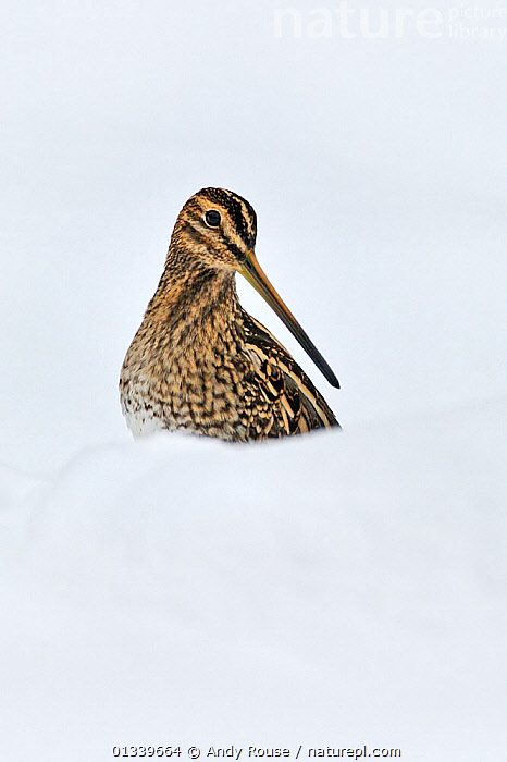 Snipe (Gallinago gallinago) in snow. Wales, UK, December.  ,  alert,animal marking,animals in the wild,BIRDS,BROWN,catalogue4,close up,COLD,copyspace,curiosity,CUTE,CUTOUT,EUROPE,looking away,Nobody,one animal,plumage,SNIPE,SNOW,UK,VERTEBRATES,VERTICAL,WADERS,WALES,watchful,WHITE,white background,WILDLIFE,WINTER,United Kingdom  ,  Andy Rouse