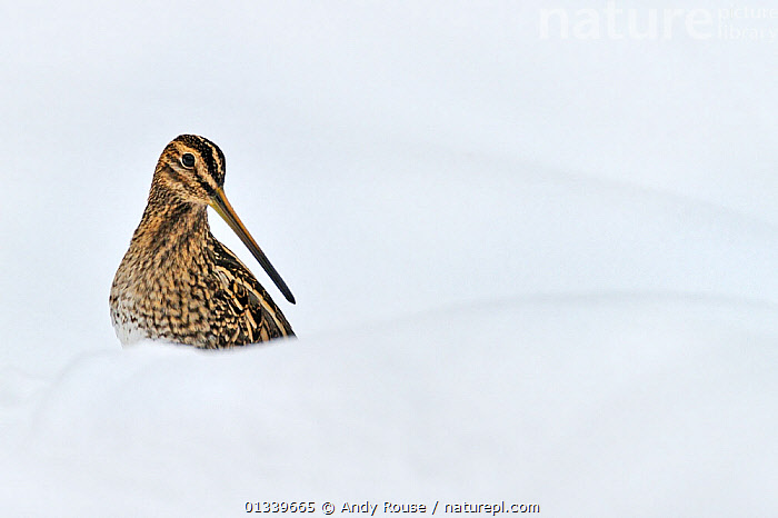 Snipe (Gallinago gallinago) in snow. Wales, UK, December.  ,  alert,animal marking,animal theme,animas in the wild,BIRDS,BROWN,catalogue4,close up,COLD,copyspace,CUTOUT,EUROPE,looking away,Nobody,one animal,plumage,SNIPE,SNOW,UK,VERTEBRATES,WADERS,WALES,watchful,WHITE,white background,WILDLIFE,WINTER,United Kingdom  ,  Andy Rouse