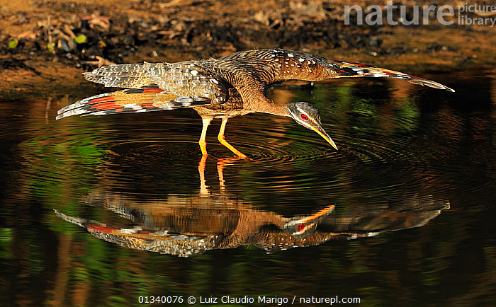 Sunbittern (Eurypyga helias) spreading its wings while standing in water. The Pantanal wetlands of Mato Grosso State, Brazil, November.  ,  Balance,BEHAVIOUR,BIRDS,Brazil,catalogue4,close up,curiosity,Mato Grosso State,Nobody,one animal,Pantanal,reflection,REFLECTIONS,SOUTH AMERICA,STANDING,SUNBITTERNS,TROPICAL,vanity,VERTEBRATES,WATER,water surface,WETLANDS,WILDLIFE,WINGS,wings spread  ,  Luiz Claudio Marigo