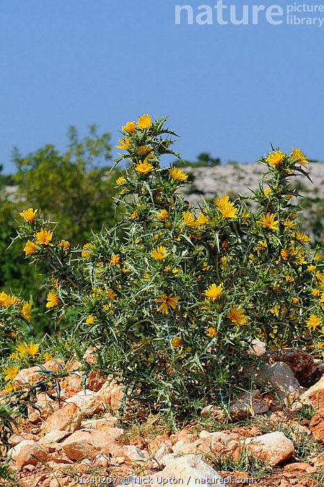 Common golden thistle / Spanish oyster thistle (Scolymus hispanicus) with clusters of yellow flowers growing on coastal limestone hillside, Zadar province, Croatia, July.  ,  ADRIATIC,ASTERACEAE,COASTAL,CROATIA,DICOTYLEDONS,EASTERN EUROPE,EUROPE,FLOWERS,LIMESTONE,MEDITERRANEAN,PLANTS,ROCKS,SPINY,THISTLES,THORNY,VERTICAL,YELLOW  ,  Nick Upton