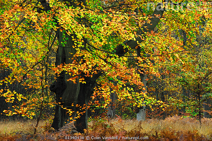 Mature Beech (Fagus) tree in autumn. Savernake Forest, Wiltshire, UK, November., AUTUMN,DICOTYLEDONS,EUROPE,FAGACEAE,FORESTS,HABITAT,PLANTS,UK,WOODLANDS,United Kingdom, Colin Varndell