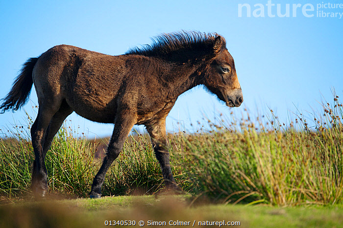 Exmoor Pony (Equus caballus) foal on heathland, Dunkery and Horner Woods NNR, Exmoor NP, Somerset, UK, August 2010, BABIES,CUTE,ENGLAND,EUROPE,HEATHLAND,HORSES,MAMMALS,MOORLAND,NP,PERISSODACTYLA,PROFILE,RESERVE,UK,VERTEBRATES,National Park,United Kingdom, Simon Colmer