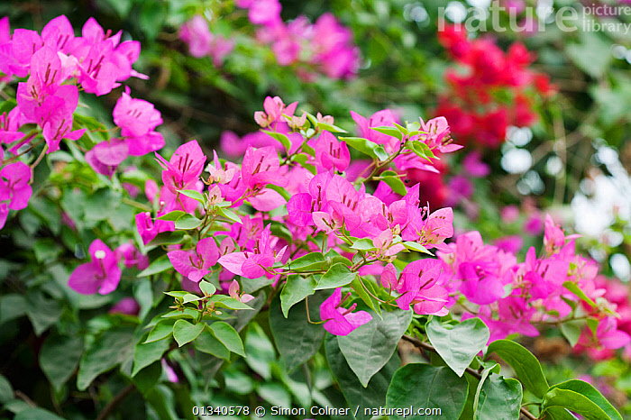 Bougainvillea flowers (Bougainvillea sp) New Delhi, India, November, CLIMBERS,COLOURFUL,DICOTYLEDONS,FLOWERS,INDIA,INDIAN SUBCONTINENT,NYCTAGINACEAE,PINK,PLANTS,PURPLE,TROPICAL, Simon Colmer