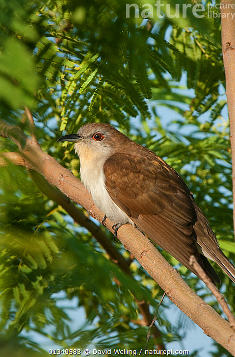 Black-billed Cuckoo (Coccyxus erythropthalmus) perching on a tree limb. South Padre Island, Cameron County, texas, USA, April., BIRDS, CUCKOOS, NORTH-AMERICA, texas, USA, VERTEBRATES, VERTICAL,North America, David Welling