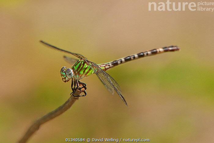 Blue-faced Ringtail (Erpetogomphus eutania) female perching on a twig. Independence Park, Gonzales County, Texas, USA, June., ANISOPTERA,DRAGONFLIES,INSECTS,INVERTEBRATES,NORTH AMERICA,ODONATA,PROFILE,TEXAS,USA, David Welling