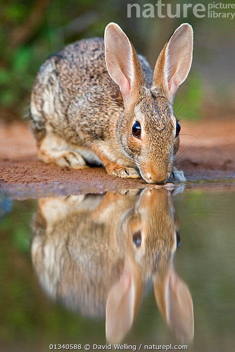 Desert Cottontail Rabbit (Sylvilagus audubonii) drinking from a pond. Rio Grande Valley, Texas, USA, June., DRINKING,LAGOMORPHS,MAMMALS,NORTH AMERICA,PORTRAITS,RABBITS,REFLECTIONS,USA,VERTEBRATES,VERTICAL,WATER, David Welling