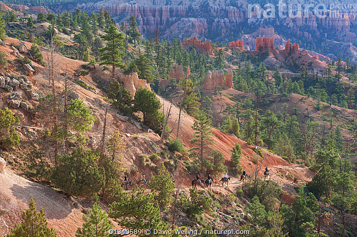 Tourists on horseback begin the descent into Bryce Canyon. Bryce Canyon National Park, Utah, USA, August., GEOLOGY,LANDSCAPES,LEISURE,NORTH AMERICA,NP,OUTDOORS,PEOPLE,RESERVE,RIDING,ROCKS,TOURISM,USA,UTAH,National Park, David Welling