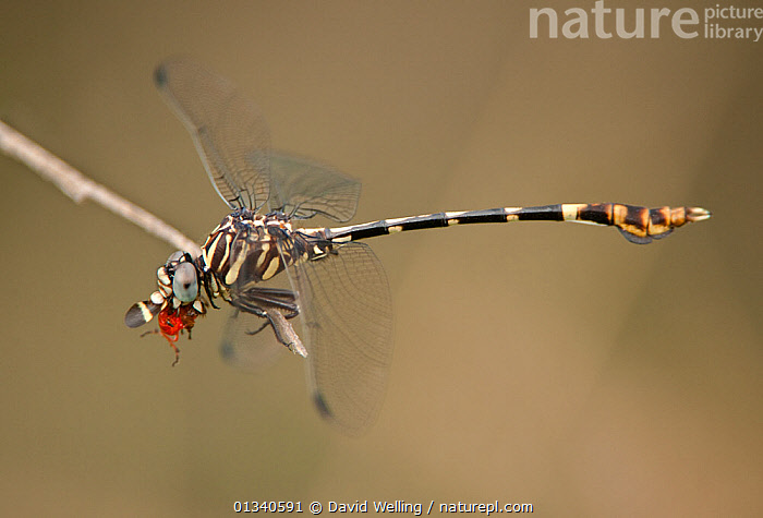 Four-striped Leaftail (Phyllogomphoides stigmatus) male eating a beetle. Rio Grande Valley, Texas, USA, June., ANISOPTERA,ARTHROPODS,BEETLE,BEHAVIOUR,DRAGONFLIES,FEEDING,INSECTS,INVERTEBRATES,MIXED SPECIES,NORTH AMERICA,ODONATA,PREDATION,PREY,USA, David Welling
