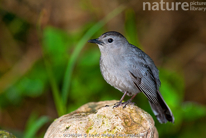 Gray Catbird (Dumetella carolinensis) perching on a rock. South Padre Island, Cameron County, Texas, USA, April., BIRDS,CATBIRDS,GREY,NORTH AMERICA,PROFILE,USA,VERTEBRATES, David Welling