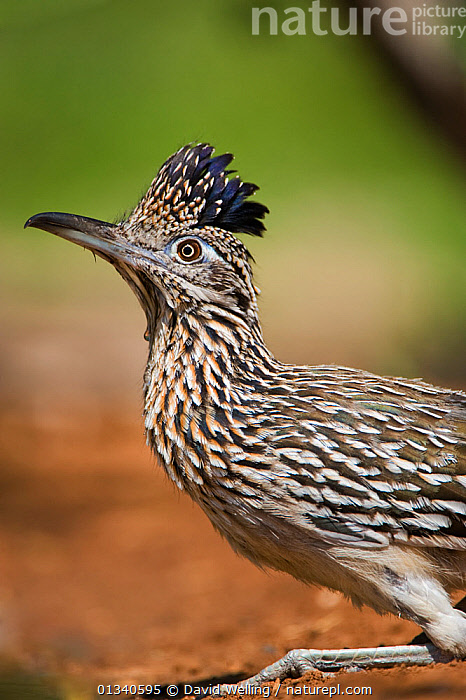 Greater Roadrunner (Geococcyx californianus) in profile. Rio Grande Valley, Texas, USA, April., BIRDS,CUCKOOS,GREATER ROADRUNNER,NORTH AMERICA,PLUMAGE,PROFILE,USA,VERTEBRATES,VERTICAL, David Welling