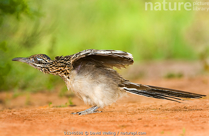 Greater Roadrunner (Geococcyx californianus) stretching its wings. Rio Grande Valley, Texas, USA, April., BIRDS,CUCKOOS,GREATER ROADRUNNER,NORTH AMERICA,STRETCHING,USA,VERTEBRATES, David Welling