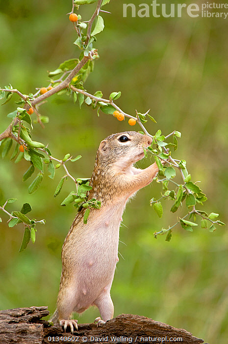 Mexican Ground Squirrel (Spermophilus mexicanus) female foraging for berries. Rio Grande Valley, Texas, USA, June., BEHAVIOUR,BERRIES,CUTE,FEMALES,FORAGING,FRUIT,GROUND SQUIRRELS,MAMMALS,NORTH AMERICA,RODENTS,USA,VERTEBRATES,VERTICAL,Plants, David Welling