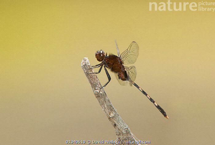 Pin-tailed Pondhawk (Erythemis plebeja) perching. Rio Grande Valley, Texas, USA, June., ANISOPTERA,ARTHROPODS,DRAGONFLIES,INSECTS,INVERTEBRATES,NORTH AMERICA,ODONATA,TEXAS,USA, David Welling