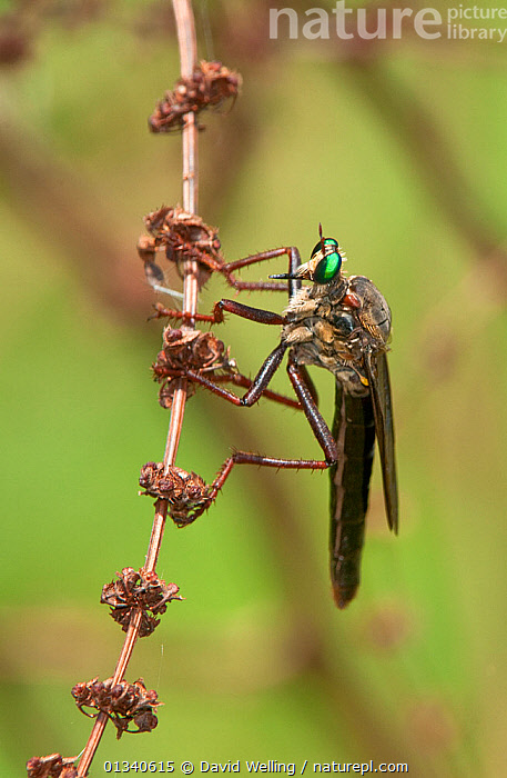 Robber Fly (Microstylum morosum) perching on a dead flower stalk. Travis County, Texas, USA, June., ARTHROPODS,DIPTERA,FLIES,INSECTS,MACRO,NORTH AMERICA,ROBBER FLIES,TEXAS,USA,VERTICAL,Invertebrates, David Welling